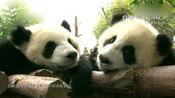 《大熊猫》毛豆: 遇上一个打呼噜的烦人室友, 怎么办, 要开揍吗