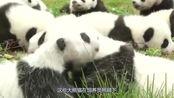熊猫妈到底多任性?饲养员:生不生全凭心情,不生就终止妊娠反应