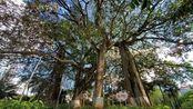 罕见,云南普洱市,几棵大榕树连在一起,变成了连理枝