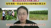 为了更好销售,指导海南一农业合作社分批种植水果玉米
