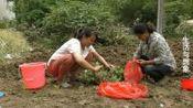 安徽阜阳: 红薯咋样种长里多? 农村妈妈学到新技术, 方法独特