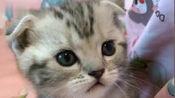 呆萌折耳猫,奶凶奶凶的,太可爱了