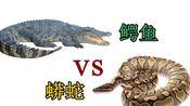 蟒蛇 vs 鳄鱼 那胜者是谁?(Giant Anaconda vs Alligators)