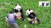 熊猫妹妹被哥哥抢怕了 看见哥哥来马上要藏起来 小动作太逗了