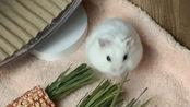 【仓鼠酸奶】15秒吃木瓜丝!