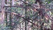 """【湖南】1300 年""""高龄""""古银杏树 获评""""湖南最美古树"""""""