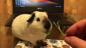 小仓鼠不挑食, 各种蔬菜都吃得狼吞虎咽, 但貌似不吃茎?