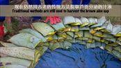 南非开普芦荟生长和芦荟成分提取与芦荟胶的制作