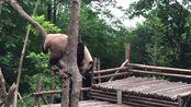 【奥莉奥】2015年5月16日幼年园奥莉奥吃早餐时受惊上树