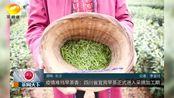 疫情难挡早茶香:四川省宜宾早茶正式进入采摘加工期