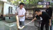 德阳绵竹惊现3条黄金蟒 最长约3米