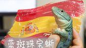 【我在美国养爬宠】之 珠宝蜥—西班牙的皇室宠物