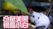 【仓鼠】仓鼠美照之银狐小白/小白小灰的田园生活27