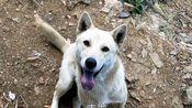 中华田园犬,没到家叫一声它就冲出来,在草丛撒尿看到我有点害羞