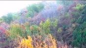 """禅院里的一棵""""千年银杏"""",惊艳了整个秋天,美爆了"""