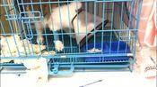 救助的长毛猫咪三天不吃不喝,昨天开始住院后终于有点胃口了