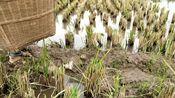 四川自贡:看农村小伙在稻田里弄到一筐什么宝贝?有多少人见过?
