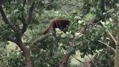 小熊猫:怎么大风越吹我心越荡,真的是太搞笑了,萌萌的真可爱!