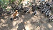 【鸭鸭】快来看南医大的可爱的鸭鸭呀!!!