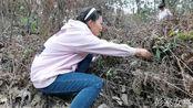 鄂州农村3妯娌带4个孩子爬山,意外发现一片啥野菜,都高兴坏了