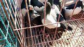 晋中鸽市上发现一笼好鸽子,看起来非常漂亮,鸽友要价100一只
