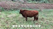 五哥外地买回来的牛,出现和本地牛不合群的情况,在一起就互殴