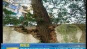 我报道:南京鼓楼区淮滨路——大树嵌进小区围墙