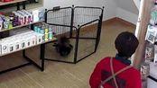 """爱犬送到宠物店洗澡后腿瘸了,监控记录""""凶手""""竟然是它"""