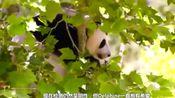 这只大熊猫太乖了,奶妈要给熊猫抽血,大熊猫就乖乖的把胳膊伸出来