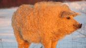 猪和绵羊结合,会生下什么东西?看完简直不可置信
