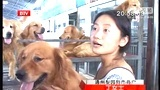 BTV采访 北京通州 梨园狗市 海生犬业 出售金毛 纯种金毛幼犬