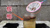 把一条泥鳅放进泡槟榔的水里会发什么呢?
