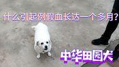 肥胖中华田园犬,例假血长达一个多月,到底怎么回事?