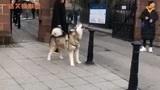 搞笑视频:狗剩子在线鸣笛警报