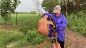 河南驻马店下大雨了,小伙用镜头记录雨后农民忙碌情景,期待丰收