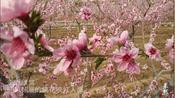果然视频|蓝天白云柳绿桃红!济南南山千亩桃花盛开