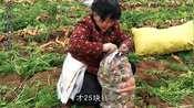11.7农村65岁老夫妻去萝卜地打工,一天干八个小时能挣多少钱?大婶很满意