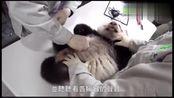 四个月大的熊猫宝宝圆仔做检查 小宝贝一点都不配合 太调皮了