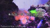 炮仗花珊瑚,颜值颇高的一种喜阴性珊瑚,水螅体展开似花开,看它们飘动很解压。