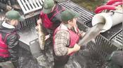 老外为了让鲑鱼产卵,竟然给它做过山车,难道不怕鲑鱼流产吗?