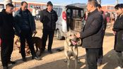 实拍焦作农村狗市,150斤重的狼青犬,你猜收狗的出多少钱?