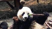 【小凤花】滚滚泡澡+树震=3=两只哟(成都大熊猫繁育基地)