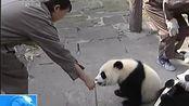 实拍雅安碧峰峡熊猫宝宝吃竹笋