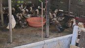 我家是卖鸭子的有鹅有鸡,马上就过年了,到塘南街上卖鸭鹅鸡,需要的话可以来我家里,地址:江西省南昌市塘南东港口自然村16号
