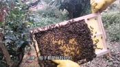 老赵早春中华蜜蜂的常规检查,需要注意的事项以及管理(一)