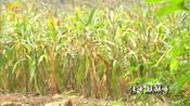 广西贺州市沙田镇龙中村的的花生和玉米收获之前,却被野兽糟蹋了