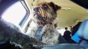 狗狗开车带主人去兜风, 开车技术不输老司机, 网友: 驾照考了吗?