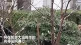 孟晚舟引渡案进入庭审 中国外交部:及早释放孟晚舟