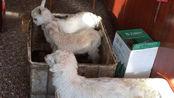 张哥家的羊又下小羊了后就开始产奶了,布乐的山羊奶酪做起来