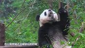 熊猫生娃到底多任性?饲养员:全凭心情,不想生就终止妊娠!